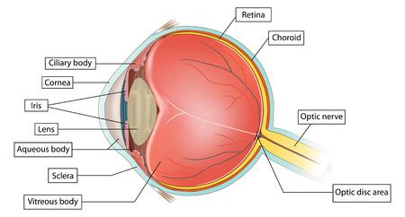 sehkraft: Auge Anatomie Abbildung auf wei�em Hintergrund