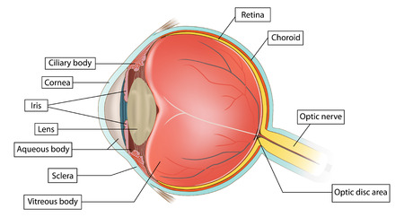 eye anatomy illustration on white background