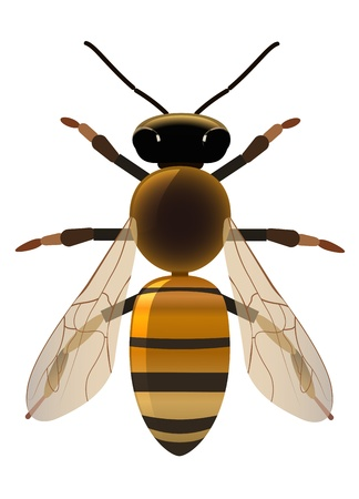 symmetrical bee on white background Vector