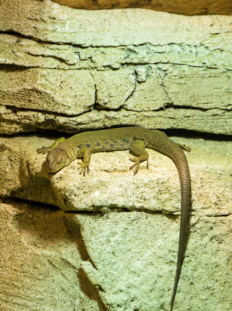 jaszczurka: Jaszczurka perłowa z Zoological Park w Paryżu, France.The Jaszczurka perłowa to największa jaszczurka w Europie.