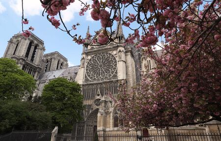 Beautiful cherry blossom trees near Notre-Dame cathedral in Paris.