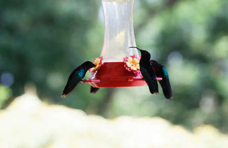 The Humming birds , colibris seen on Martinique island.