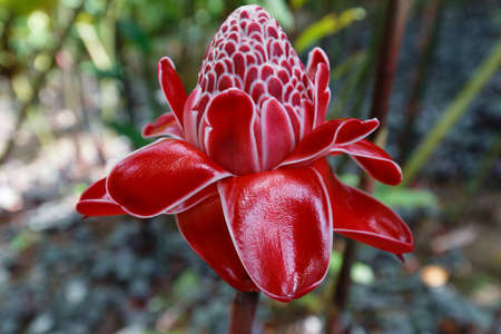The Torch ginger flower, seen in Martinique, French West Indies.