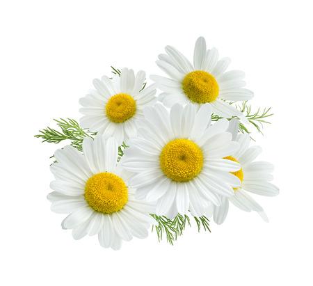 marguerite: Groupe camomille daisy isolé sur fond blanc comme élément de design de l'emballage Banque d'images