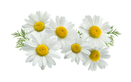 Camomile daisy long group composition isolated on white background as package design element