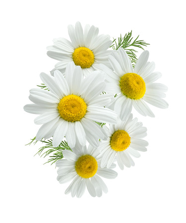 chamomile flower: Camomile daisy group 2 isolated on white background as package design element