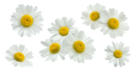 Camomile small group set isolated on white background as package design element