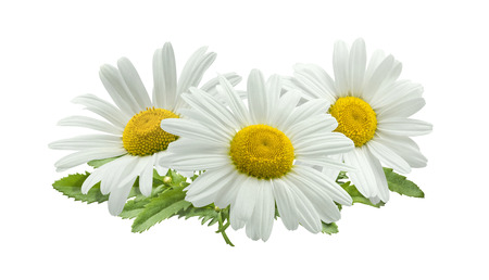 chamomile flower: 3 chamomile composition isolated on white background as package design element