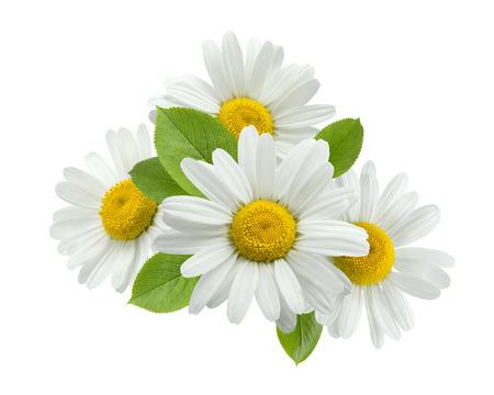 Grupo Flor de manzanilla hojas aisladas sobre fondo blanco como elemento de diseño de paquete Foto de archivo - 42846637