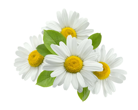 Chamomile flower group leaves isolated on white background as package design element Standard-Bild