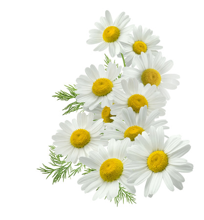 Chamomile flower vertical group right isolated on white background as package design element