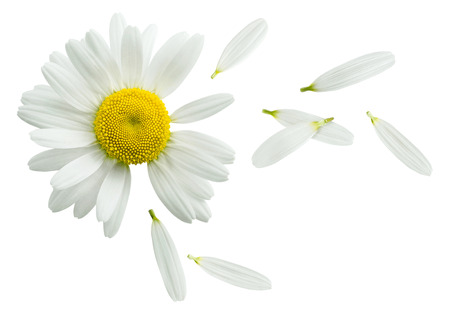 chamomile flower: Chamomile flower flying petals, guess on daisy, isolated on white background as poster design element