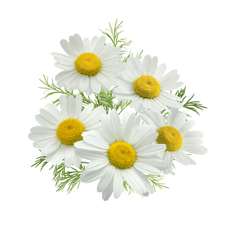 Chamomile flower group green leaves isolated on white background as package design element
