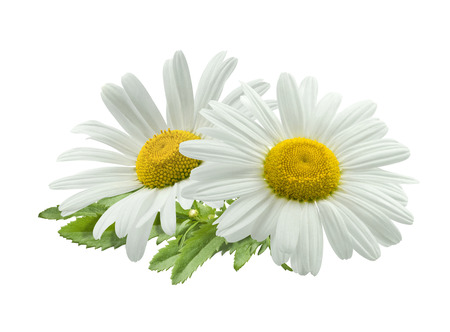 Double chamomile composition isolated on white background as package design element Foto de archivo
