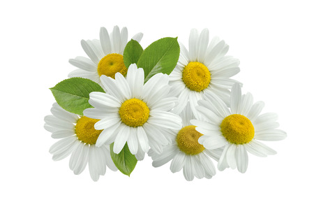 Chamomile flower group leaves isolated on white as package design element