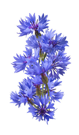bluet: Big vertical blue cornflower isolated on white background as package design element
