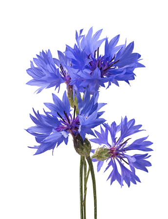 bluet: Big bluet cornflower isolated on white background as package design element Stock Photo