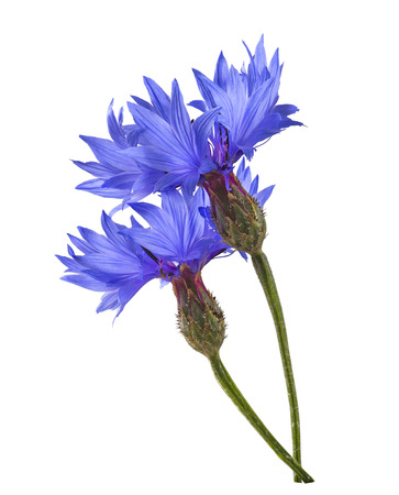 bluet: Double blue cornflower isolated on white background as package design element Stock Photo