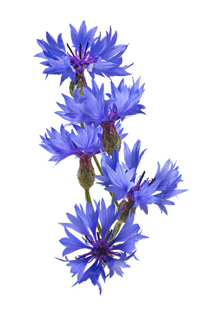 bluet: Vertical cornflower isolated on white background as package design element