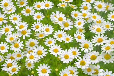 daisies: Camomile daisy field natural horizontal background texture for beauty, health, herbal messages 3