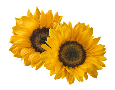 2 sunflower isolated on white background as package design element