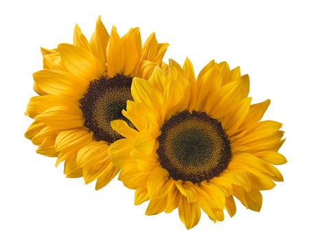 2 Sonnenblume auf weißem Hintergrund als Package-Design-Element isoliert Standard-Bild