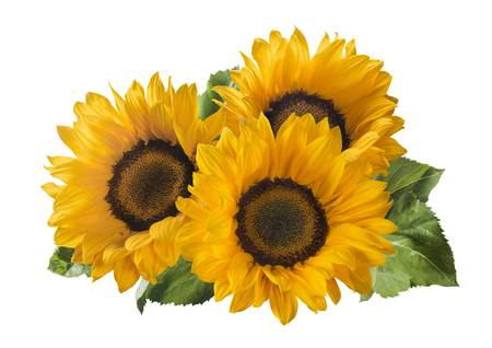 3 sunflower isolated on white background as package design element Foto de archivo