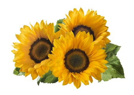 3 sunflower isolated on white background as package design element Standard-Bild