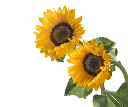 Double sunflower isolated on white background as package design element