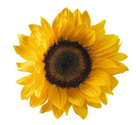 패키지 디자인 요소로 흰색 배경에 고립 된 단일 노란 해바라기 꽃 스톡 콘텐츠