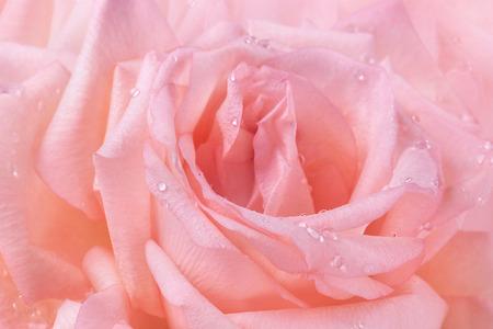 jardín rosa rosa pétalo de la flor del agua cae macro fondo de belleza naturales para la salud posters