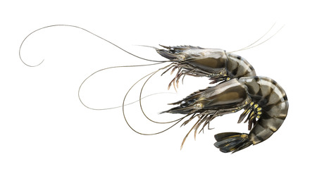 Raw prawn or tiger shrimp double isolated on white background as package design element