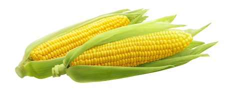 Corncobs or corn ears isolated on white background as package design element