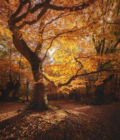 Schöne Buche in einem Wald. Herbstlandschaft.