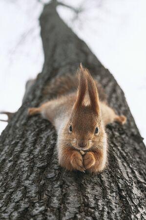 Squirrel eats nuts hanging upside down on tree. Feeding city animals in winter. Vertical layout Zdjęcie Seryjne