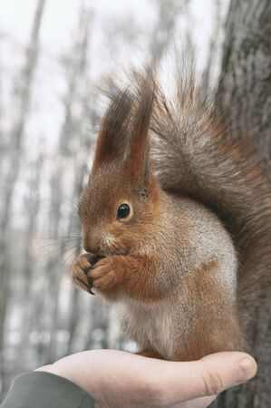 Squirrel eats nuts sitting on palm. Feeding city animals in winter. Vertical layout