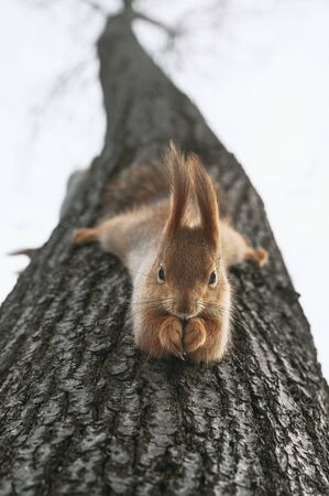 Red squirrel eats nuts hanging upside down on tree. Feeding city animals in winter. Vertical layout Zdjęcie Seryjne