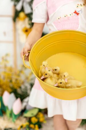 curly girl in a dress holds a yellow bowl with cute fluffy ducklings in her hands. spring easter.