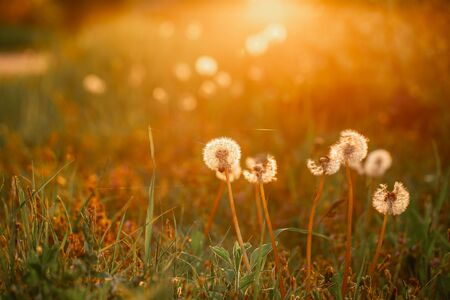 Beautiful dandelion flowers in spring in a field close-up Fluffy dandelions glow in the rays of sunlight at sunset in nature on a meadow space for text. Reklamní fotografie