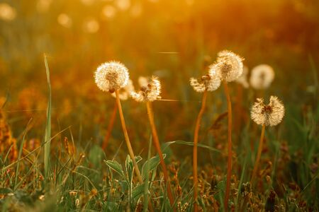 Macro photo dandelion flower on sunset background. Photo white fluffy plant under evening sunset close-up in the golden rays of the sun. space for text. Reklamní fotografie