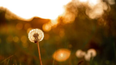 Macro photo dandelion flower on sunset background. allergy to bloom. concept of freedom close-up space for text.
