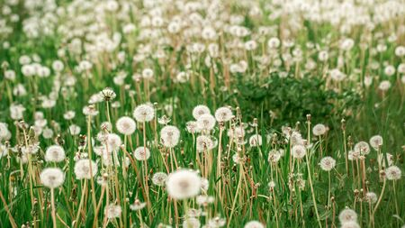 Macro Photo Nature plant fluffy dandelion. Blooming white dandelion flower on the background of plants and grass. space for text.