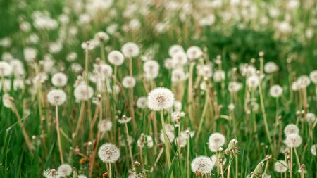 Spring background with light transparent flowers dandelions at sunset in pastel light golden tones macro with soft focus. concept of medicinal herbs. allergic reactions.
