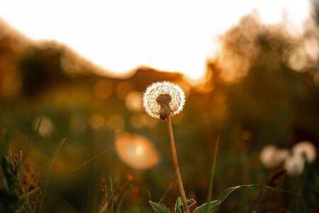 Dandelion closeup macro. concept of medicinal herbs. Dandelion roots against cancer. folk medicine. space for text.
