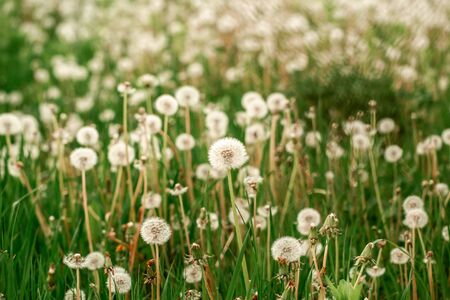 nature white flowers blooming dandelion. Background Beautiful blooming bush of white fluffy dandelions. dandelion flower . Dandelion field. Reklamní fotografie