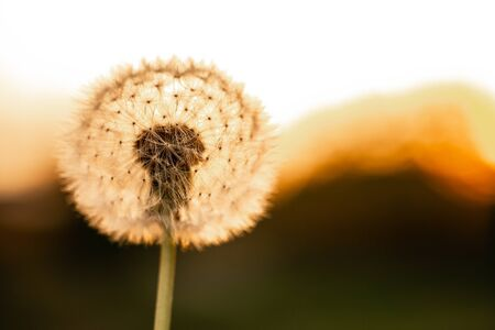 Dandelion closeup macro. concept of medicinal herbs. Dandelion extract kills all types of cancer. space for text.
