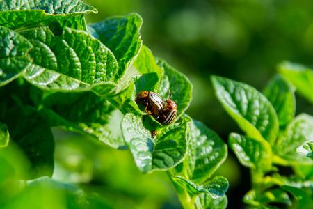Copulation of the Colorado potato beetle