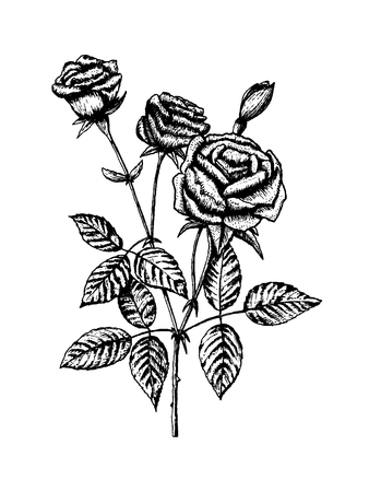 isolated flower: Hand draw rose with leaves. Isolated on white background. Vector illustration EPS 10