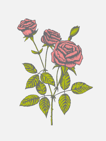 pencil drawings: Colorful rose with leaves, hand draw vector illustration EPS 10