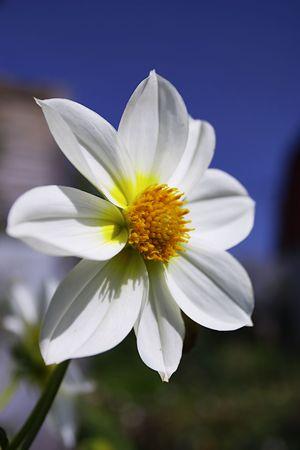 poster bed: garden flower - dahlia Stock Photo